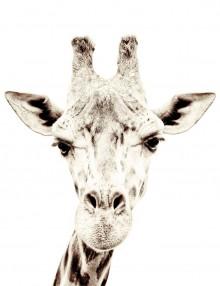 giraffa4